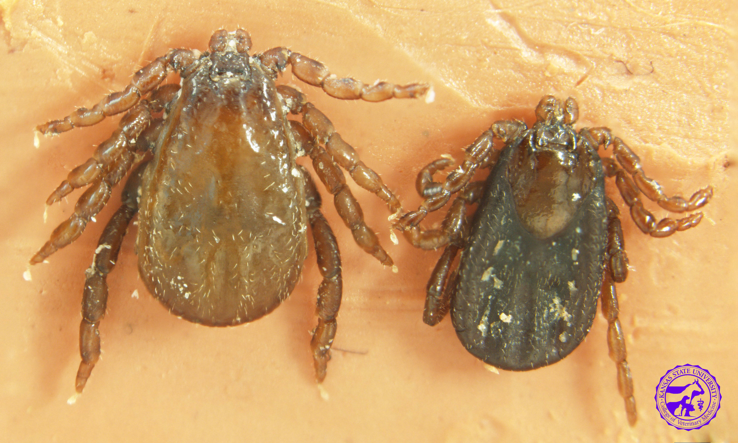 Winter Tick   Dermacentor albipictus    Range - all across North America   Active season - winter   Disease transmission to horses-  irritation and blood loss due to high numbers in one infestation   Disease transmission to humans-  none known