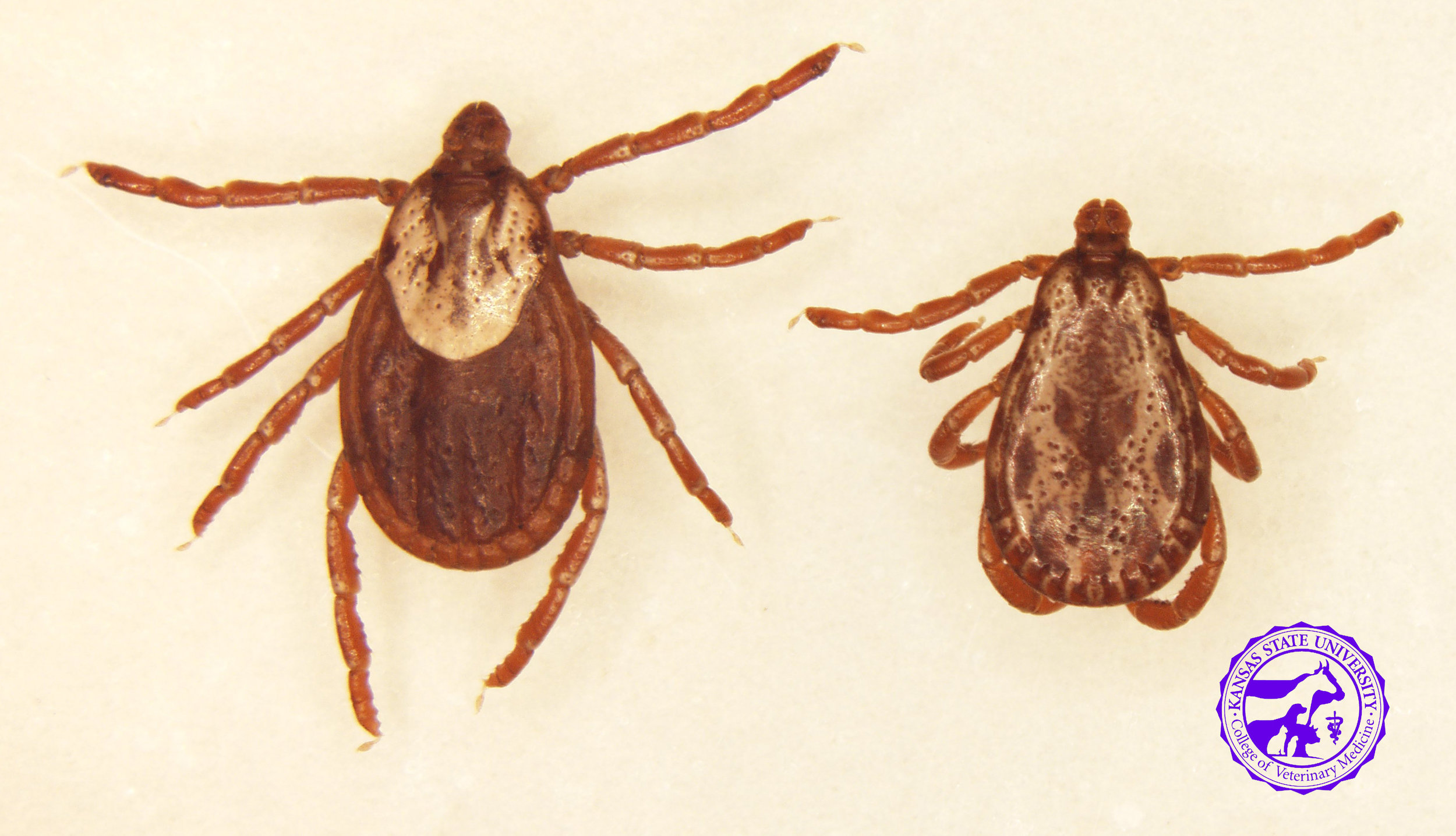 American Dog Tick/ Rocky Mountain Wood Tick   Dermacentor variabilis / Dermacentor andersoni   These ticks look identical, and DNA must be analyzed to accurately identify.   Range -  D. variabilis-  throughout US, except the Rocky Mountains   D. andersoni-  confined to Rocky Mountains   Active season - spring, early summer   Disease transmission to horses-  inflammation, open wounds and proud flesh   Disease transmission to humans-  Rocky Mountain Spotted Fever