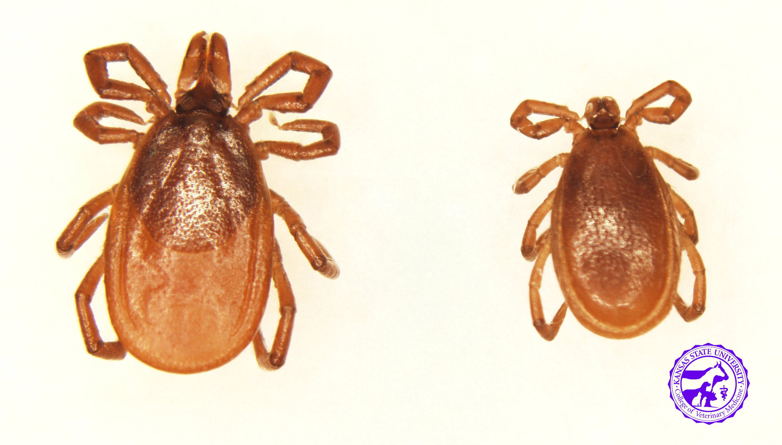 Deer Tick/ Western Black Legged Tick   Ixodes scapularis / Ixodes pacificus   These ticks look identical, and DNA must be analyzed to accurately identify.   Range -  I. scapularis-  throughout the eastern US   I. pacificus-  western coast of US   Active season - fall, winter   Disease transmission to horses-  Lyme disease, Equine Granulocytic Anaplasmosis   Disease transmission to humans-  Lyme disease, Anaplasmosis, Powassan virus, Babesiosis