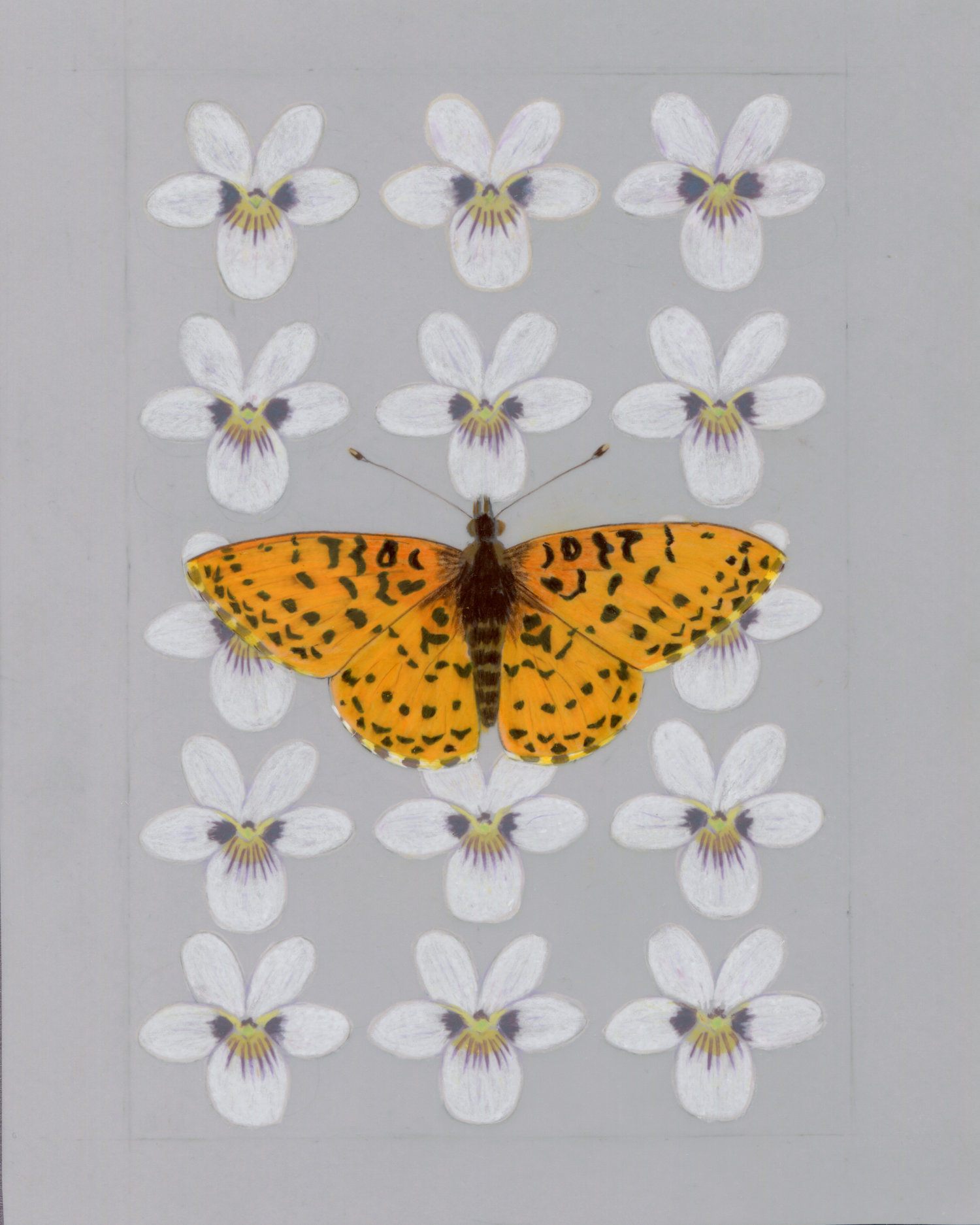Pacific Fritillary and violet