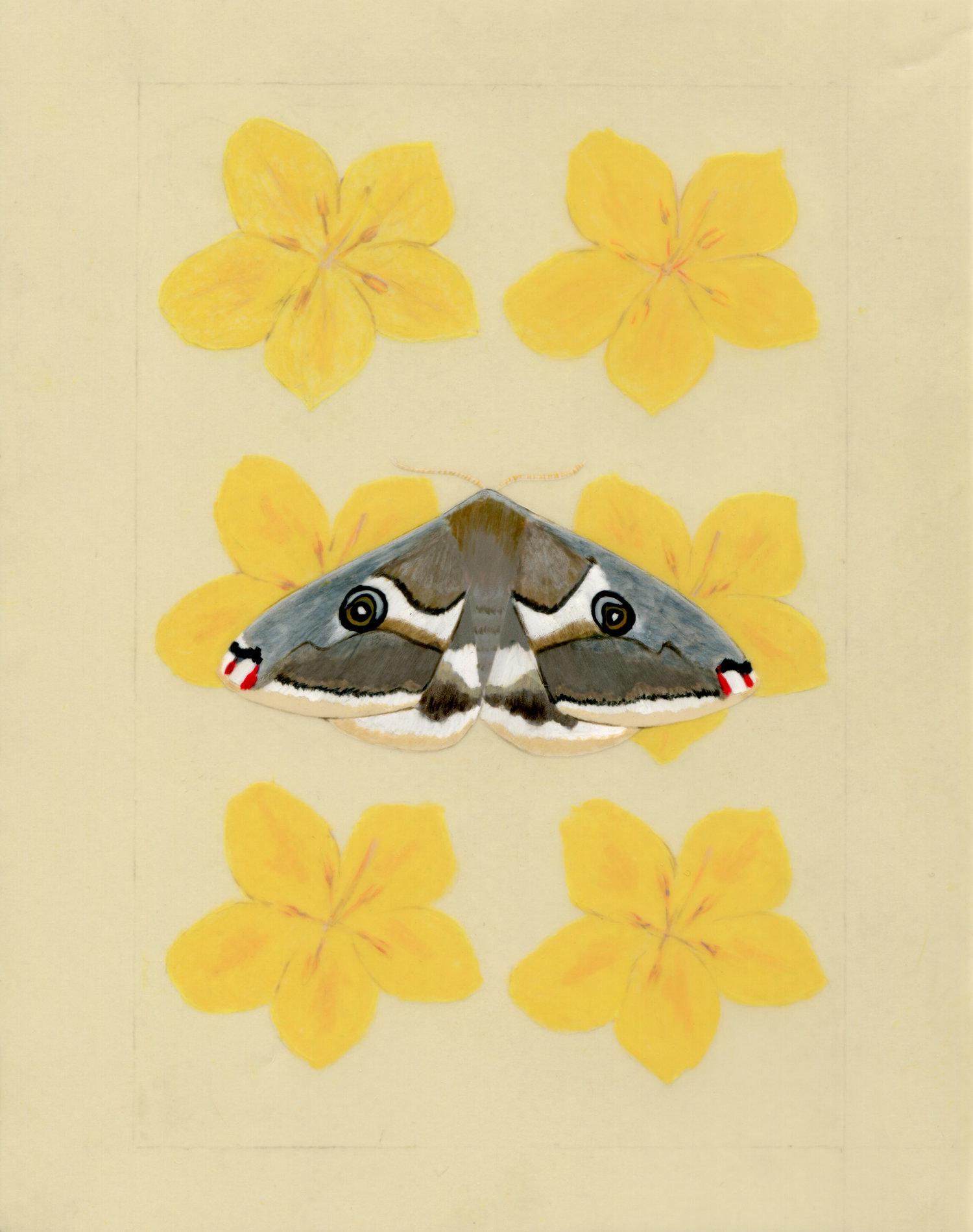 Saturnid moth and Flannelbush