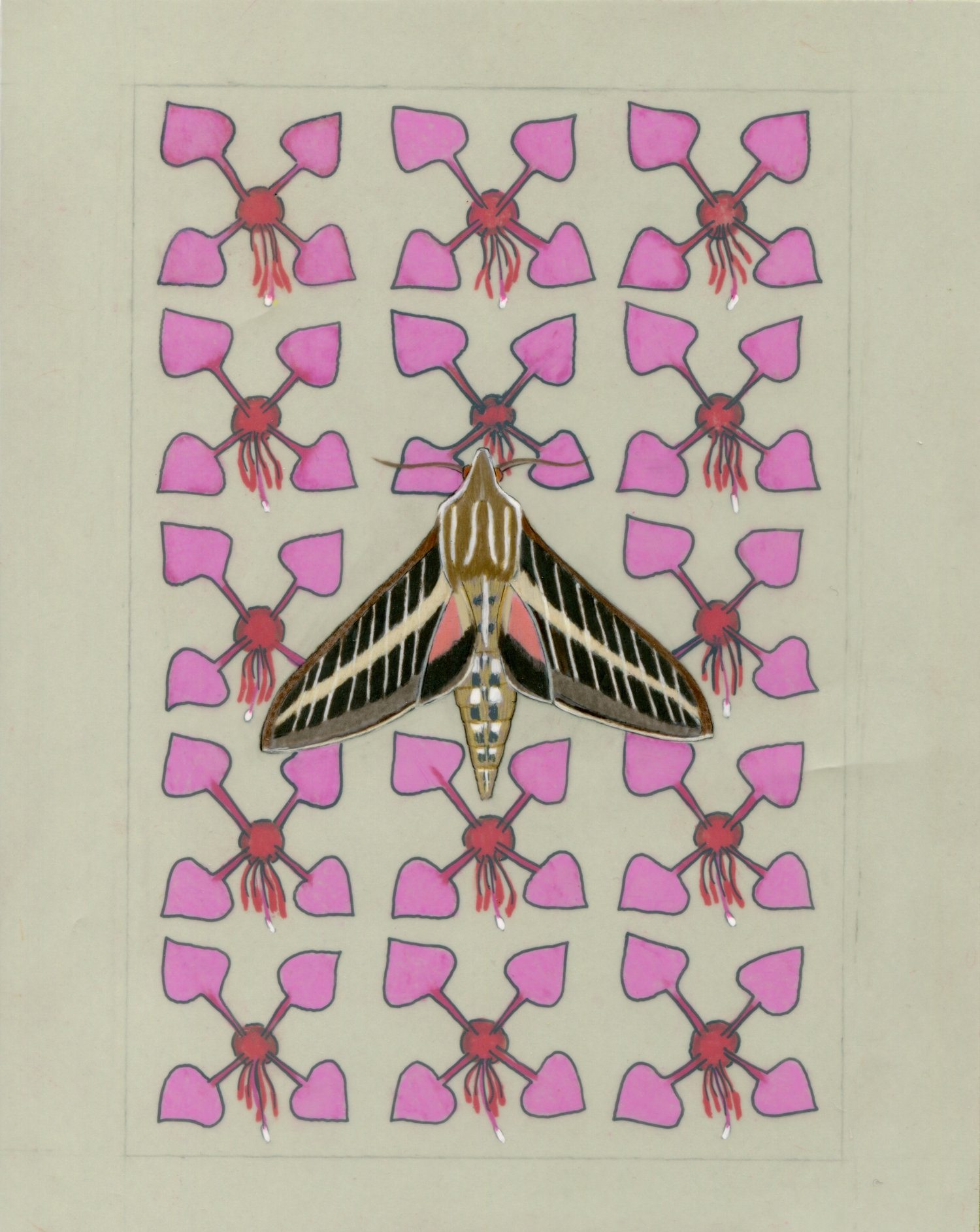 White-lined Sphinx moth and Elegant Clarkia