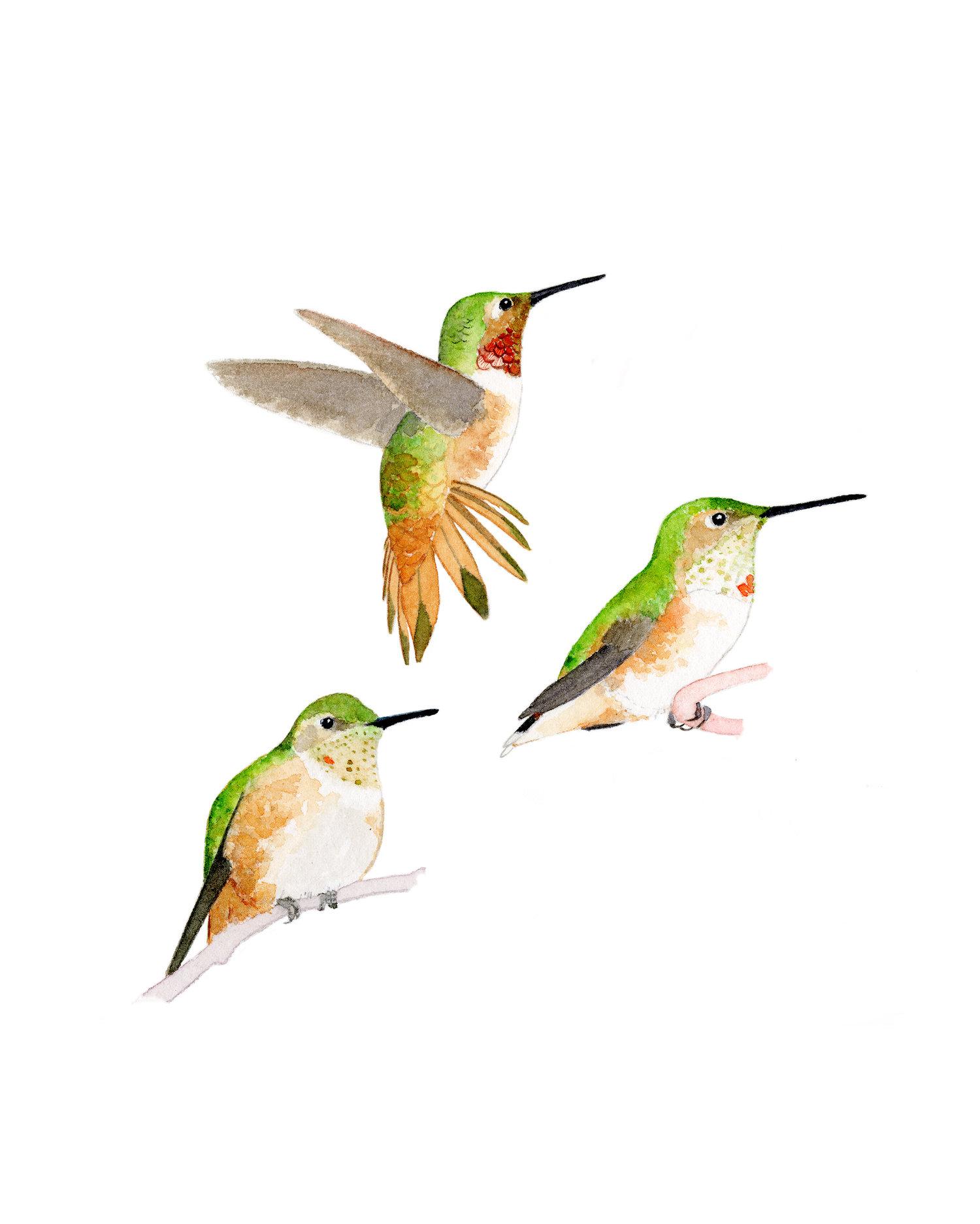 Allen's Hummingbirds (Selasphorus sasin)