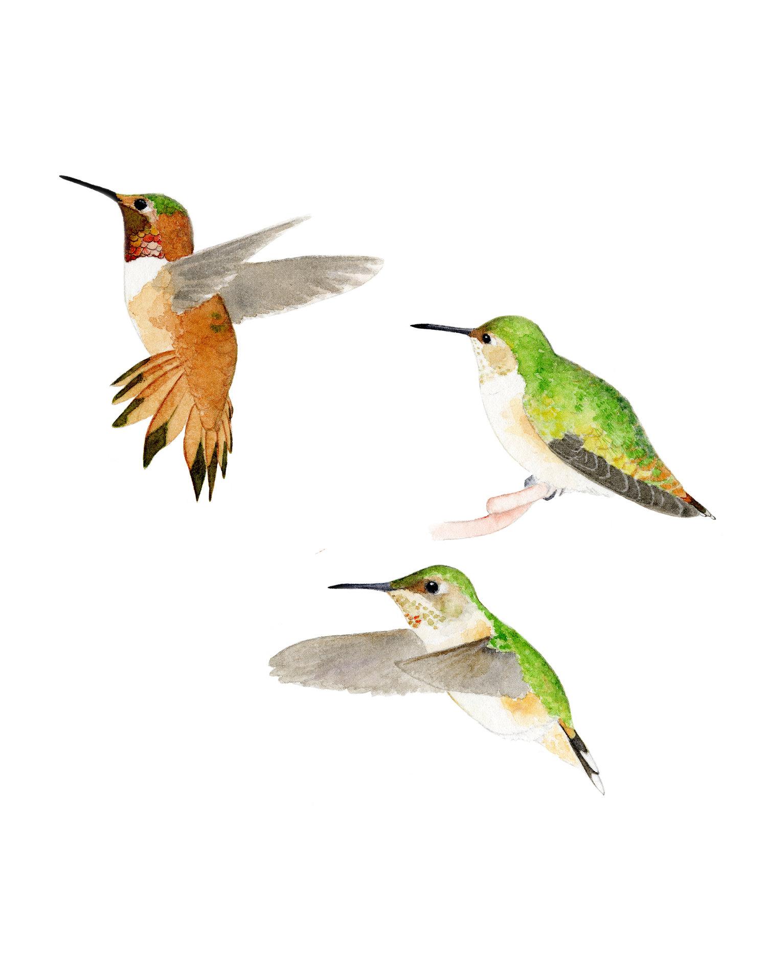 Rufous Hummingbirds (Selasphorus rufus)