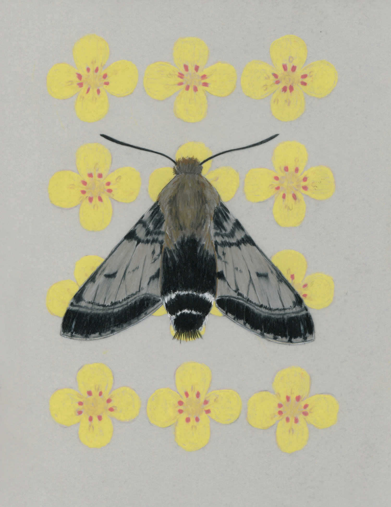 Euproserpinus moth and Mojave suncup