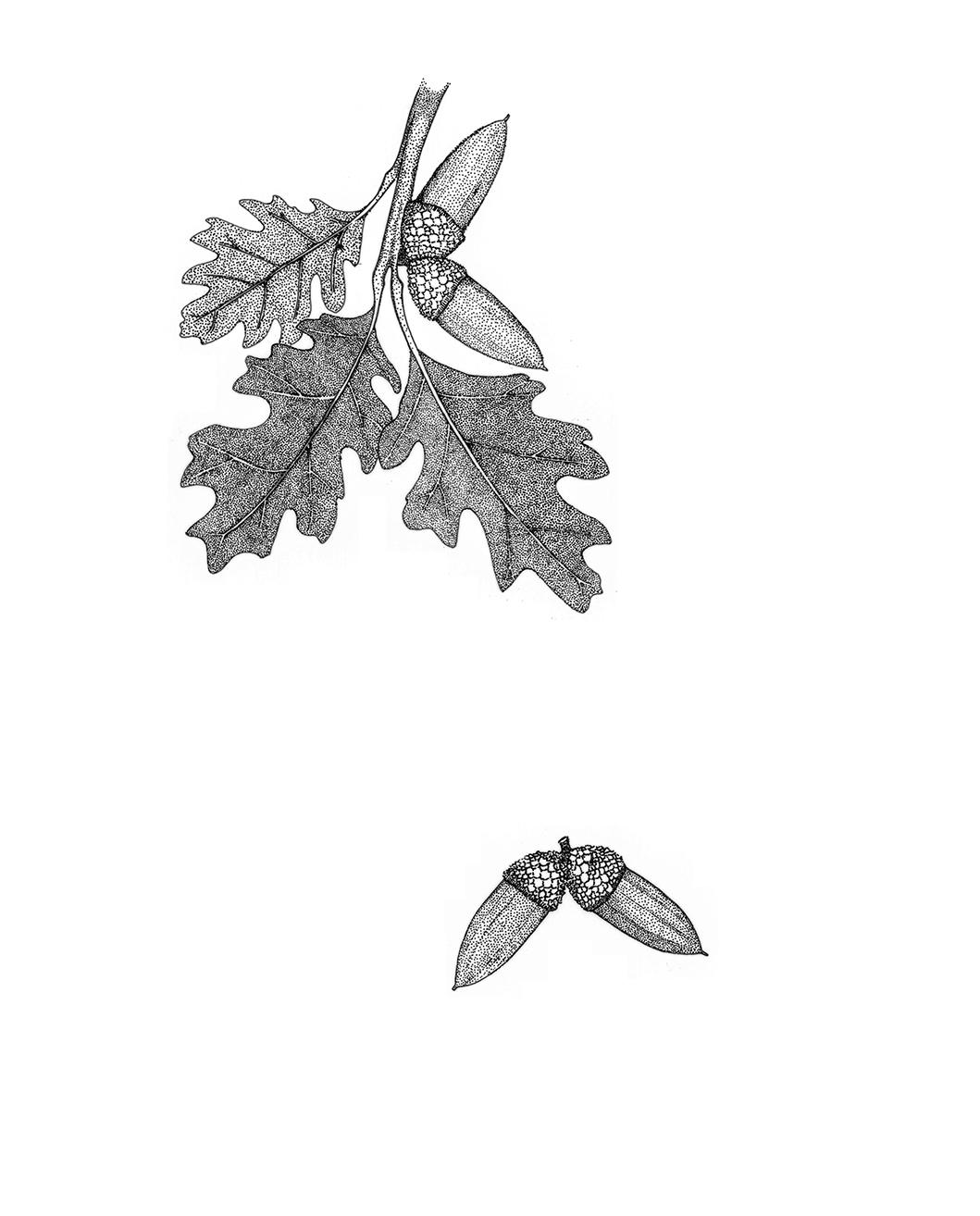Valley Oak (Quercus lobata)