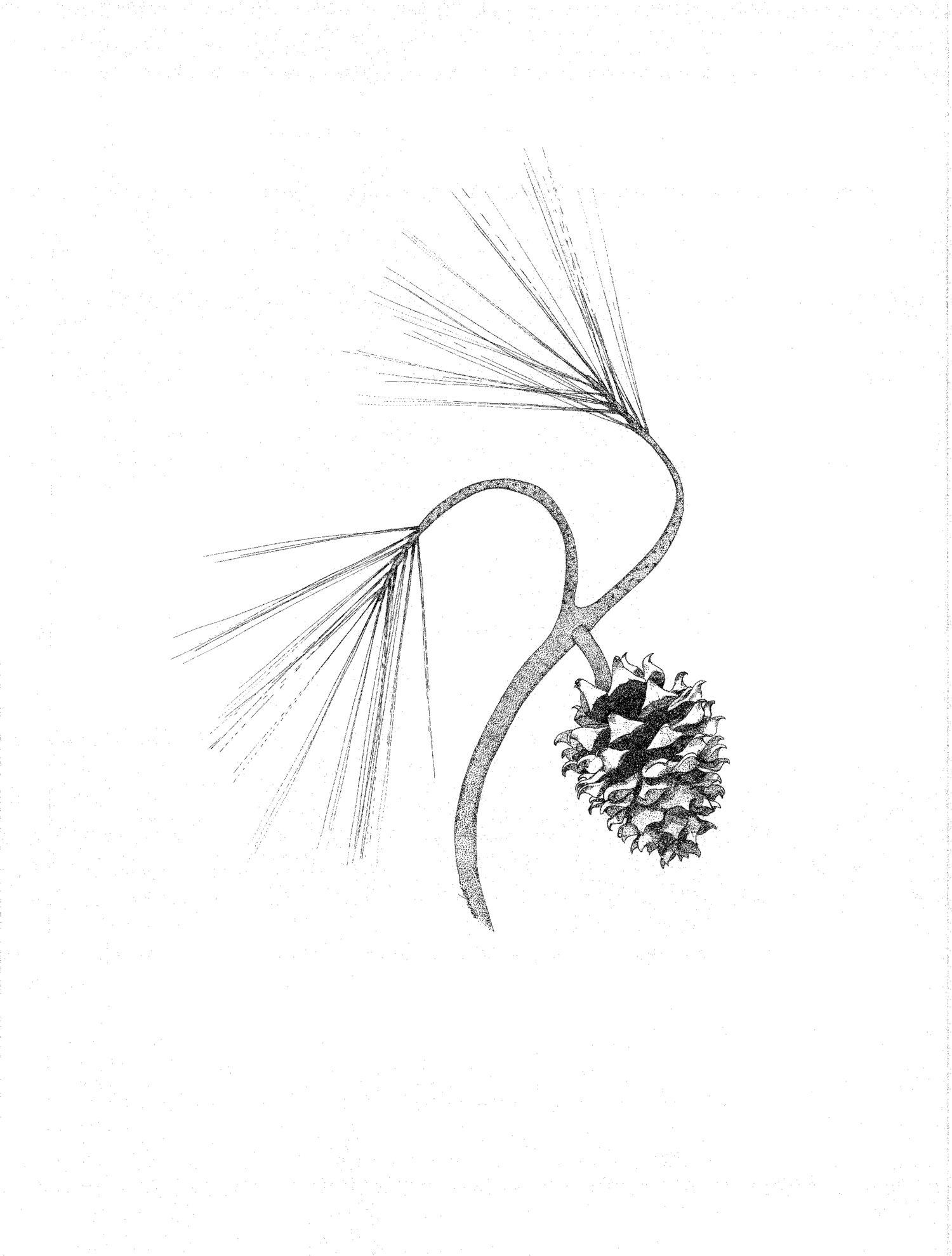 Grey Pine (Pinus sabiniana)