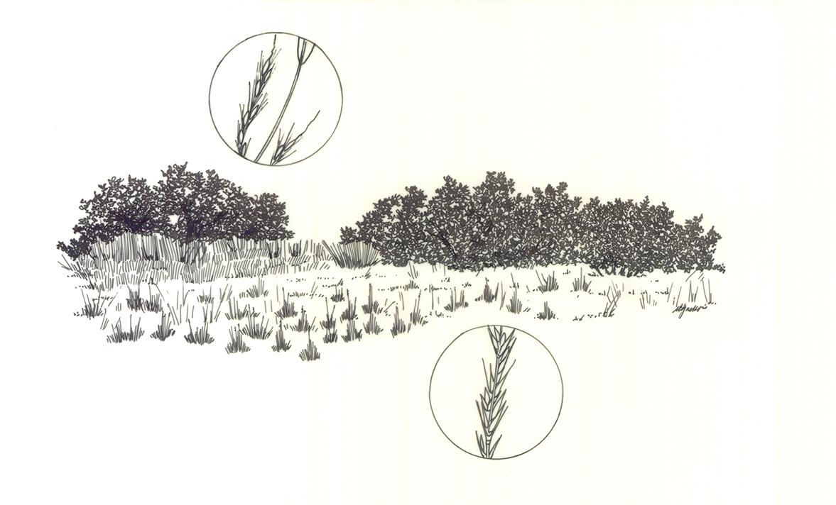 Native bunch grasses