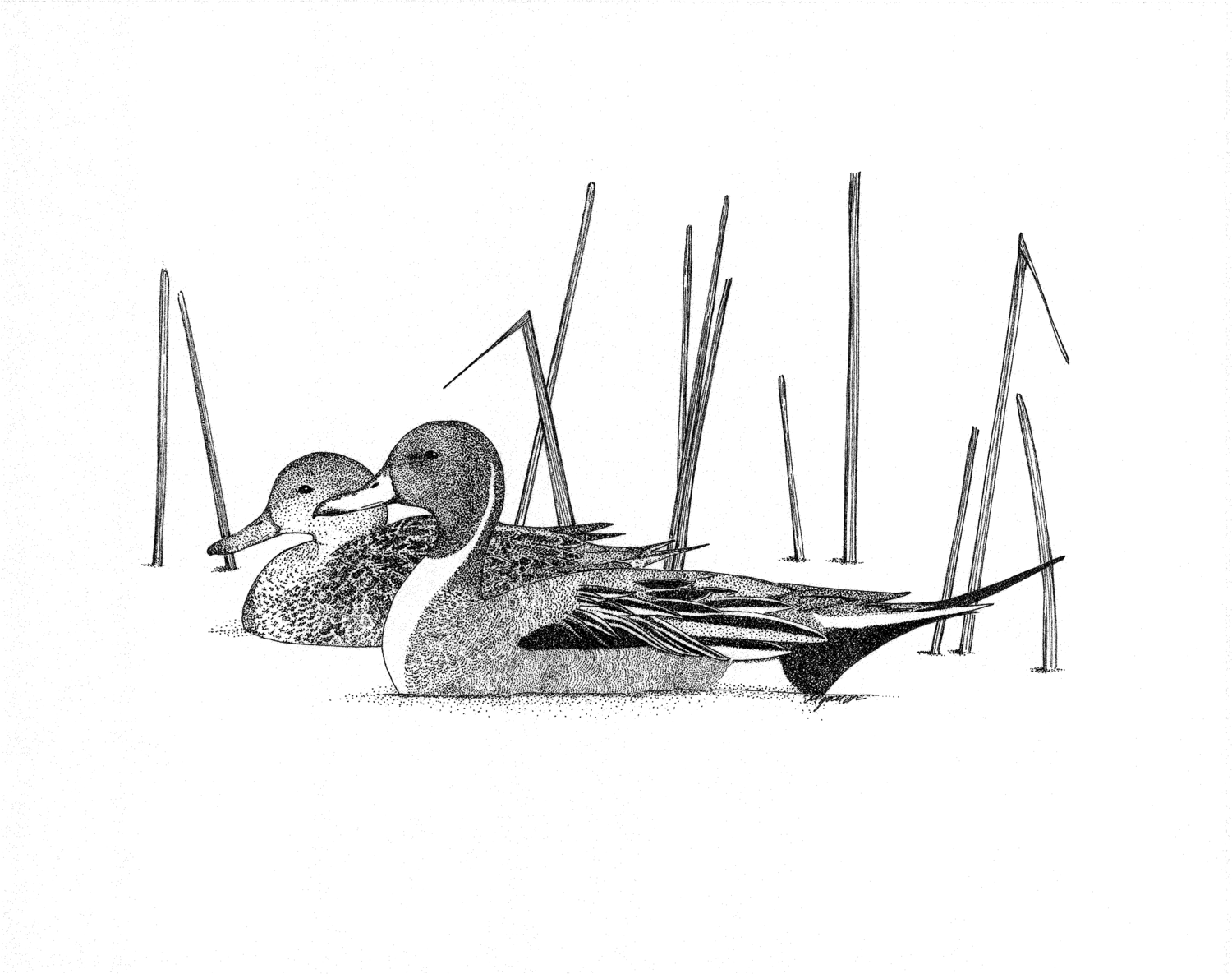 Norther Pintails (Anas acuta)