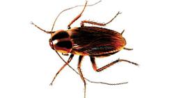 cockroach-queensland.jpg