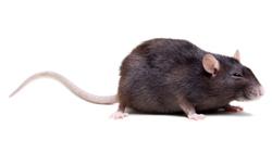 rat-mice-queensland.jpg