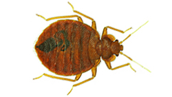 bedbugs-sunshine-coast.jpg