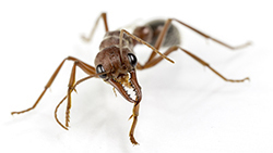 Get rid of ants like this one in and around your home.