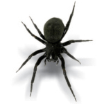Common Black House Spider (Badumna insignis)