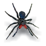 Male Mouse Spider