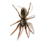 White Tail Spider (Lampona sp.)