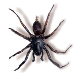 Male Funnel Web Spider (Hadronyche infensa)