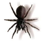 Female Funnel Web Spider (Hadronyche infensa)