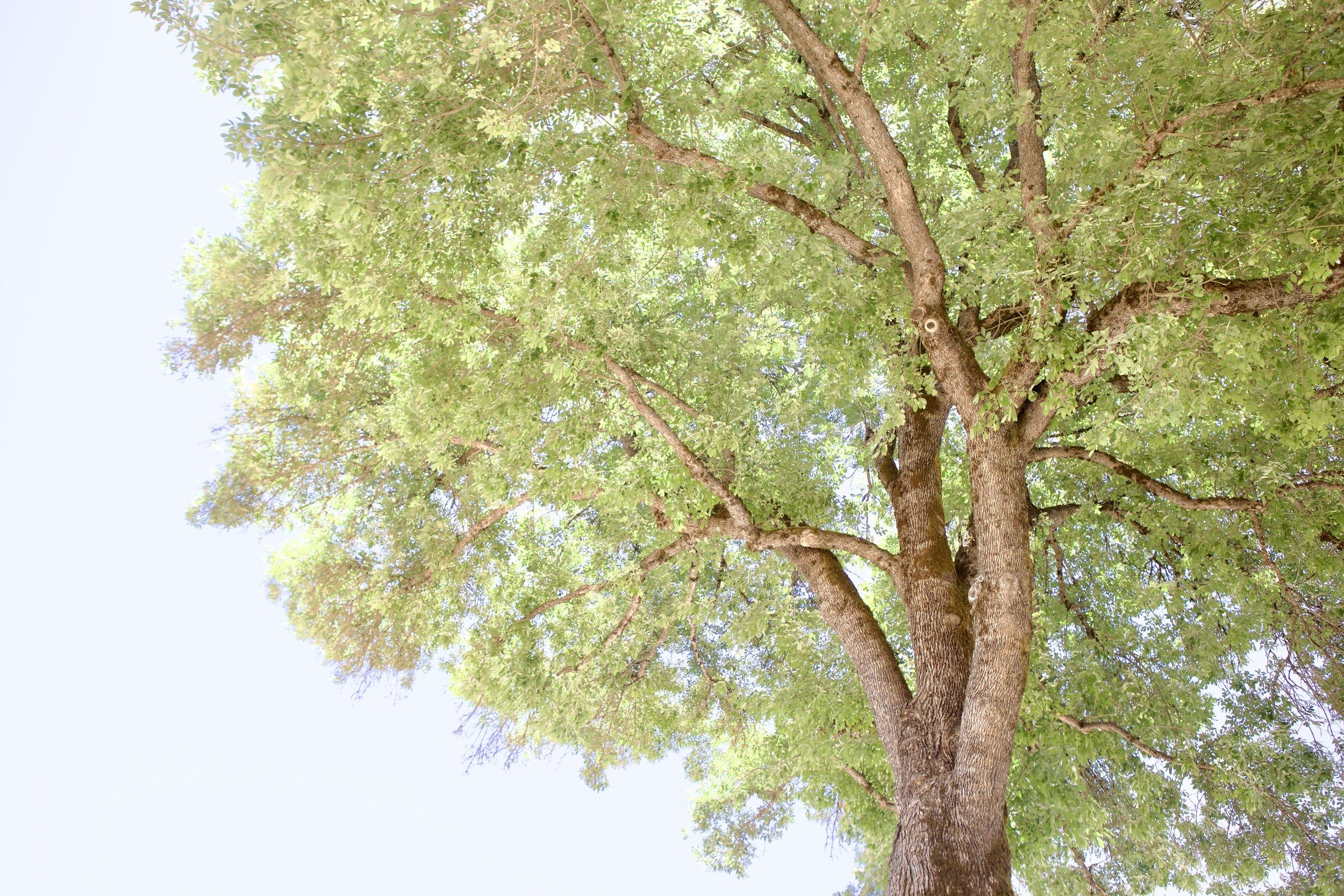 Mandala Springs Tree