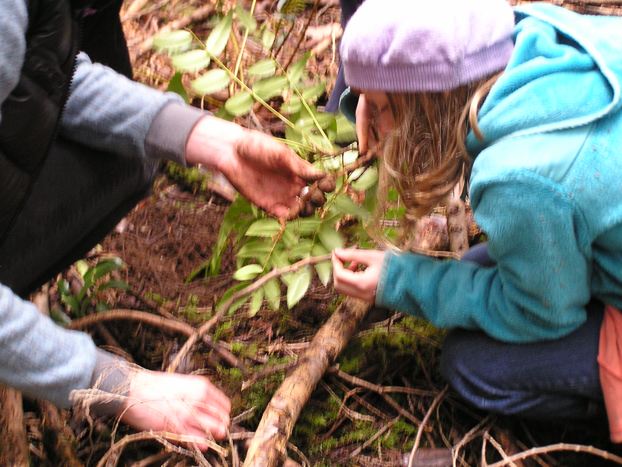 Oregon grape digging.jpg