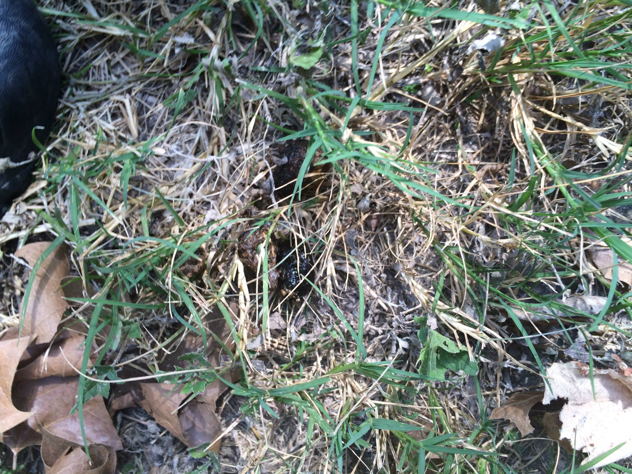 A sneaky raw poo - If you can spot it through this grass, this raw poo is an A+ on color (nice and dark but still brown, not black), size, density and don't smell. These poos break down into white dust in a few days. Raw-fed dogs are easy to distinguish by their poo.