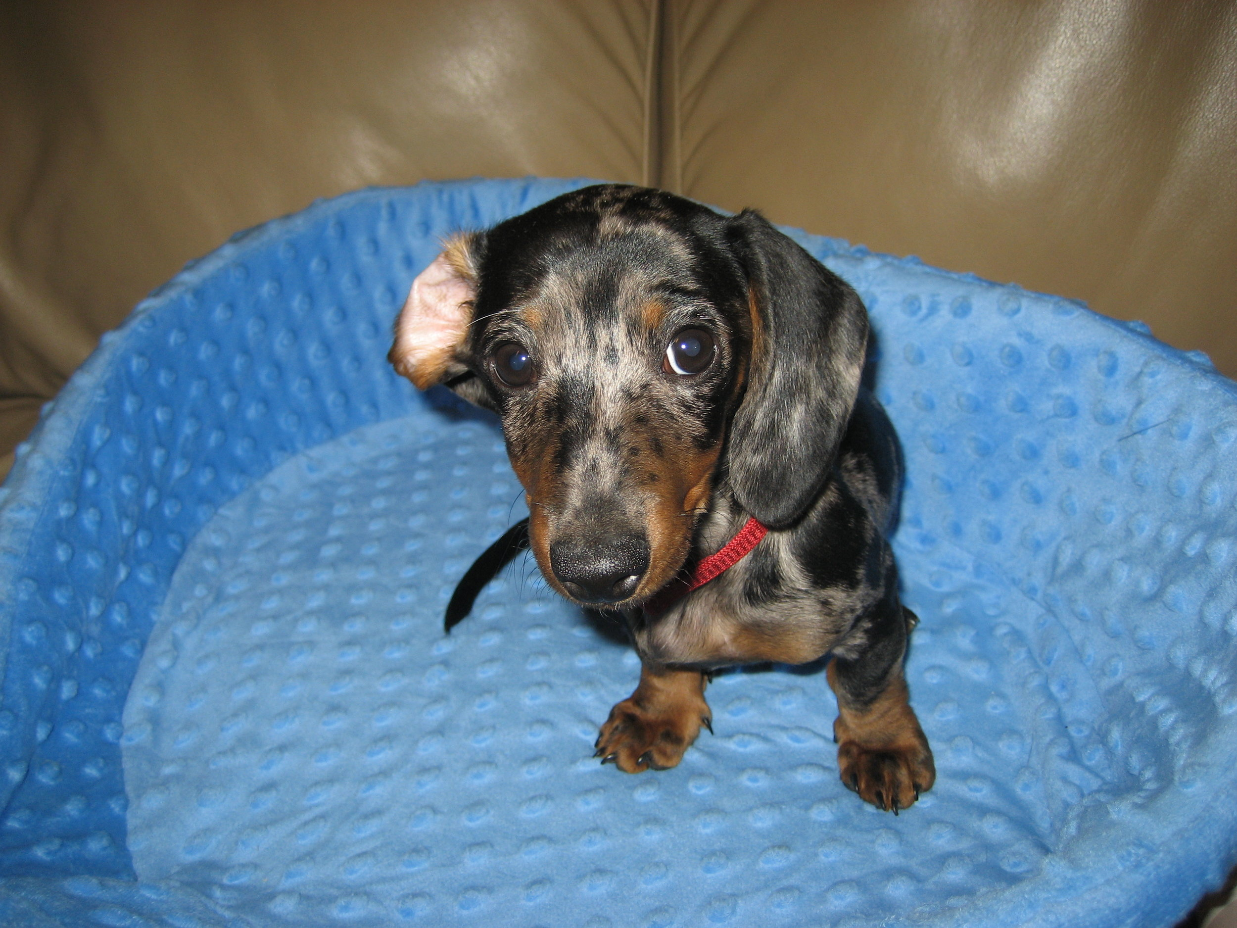That tiny nose though. I die. BRB getting another Dachshund puppy….