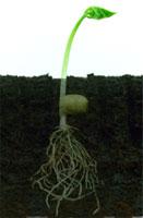 Seed-germinated.jpg