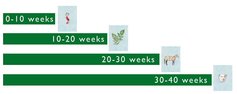 Gestational time line, four 10-week periods