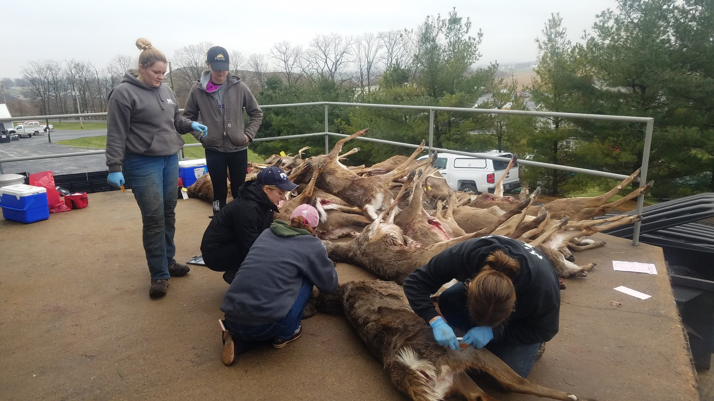 Lab members at a deer processing station, combing through deer for ticks, keds, and other parasites.