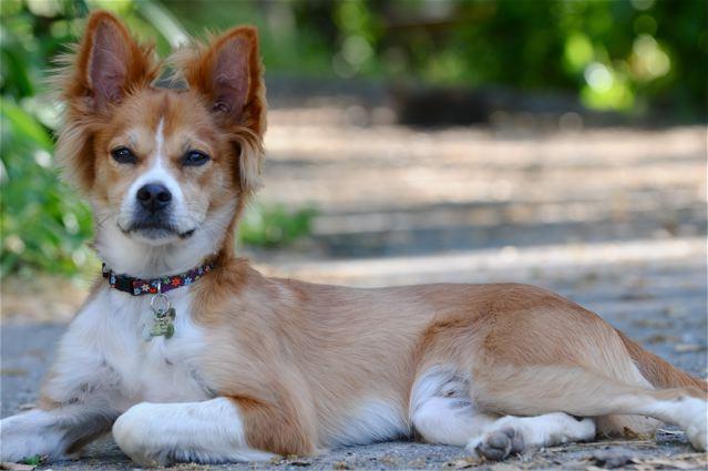 Urinary incontinence dog canine neuter