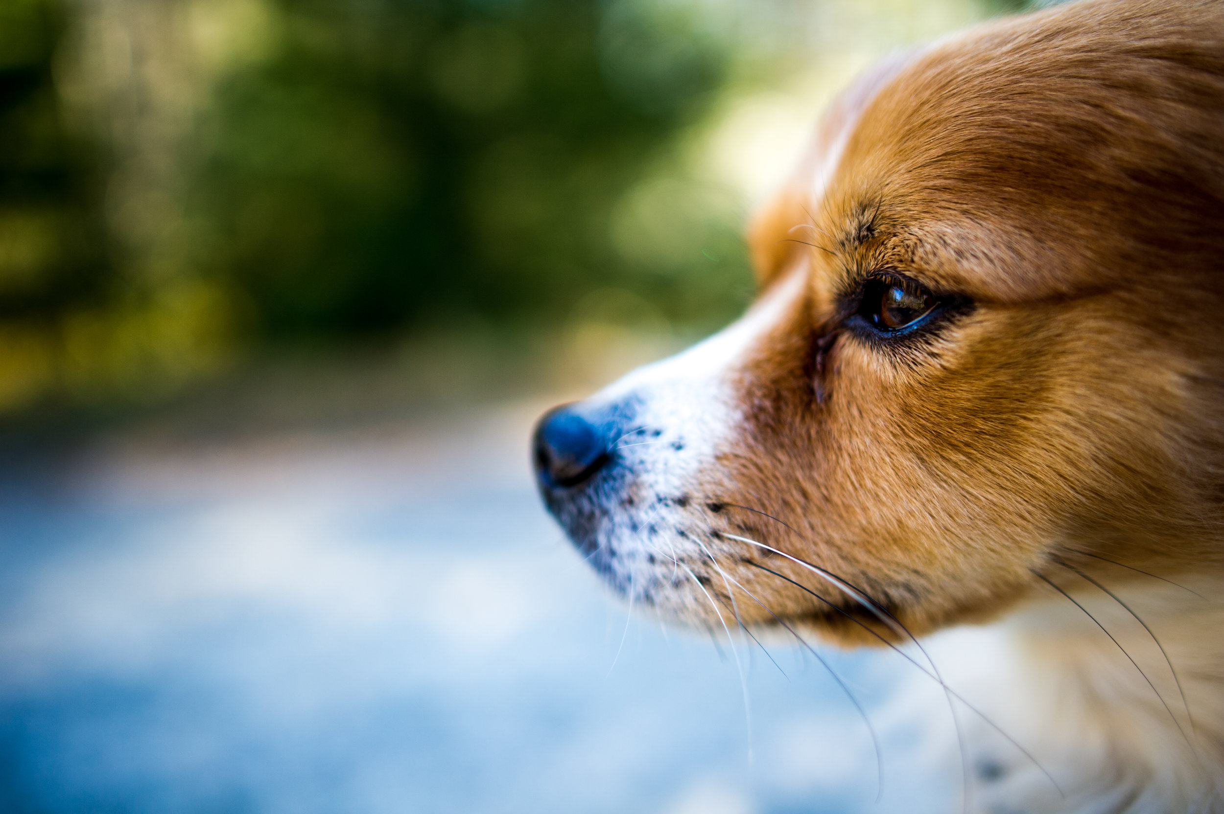 testicular tumors dog canine