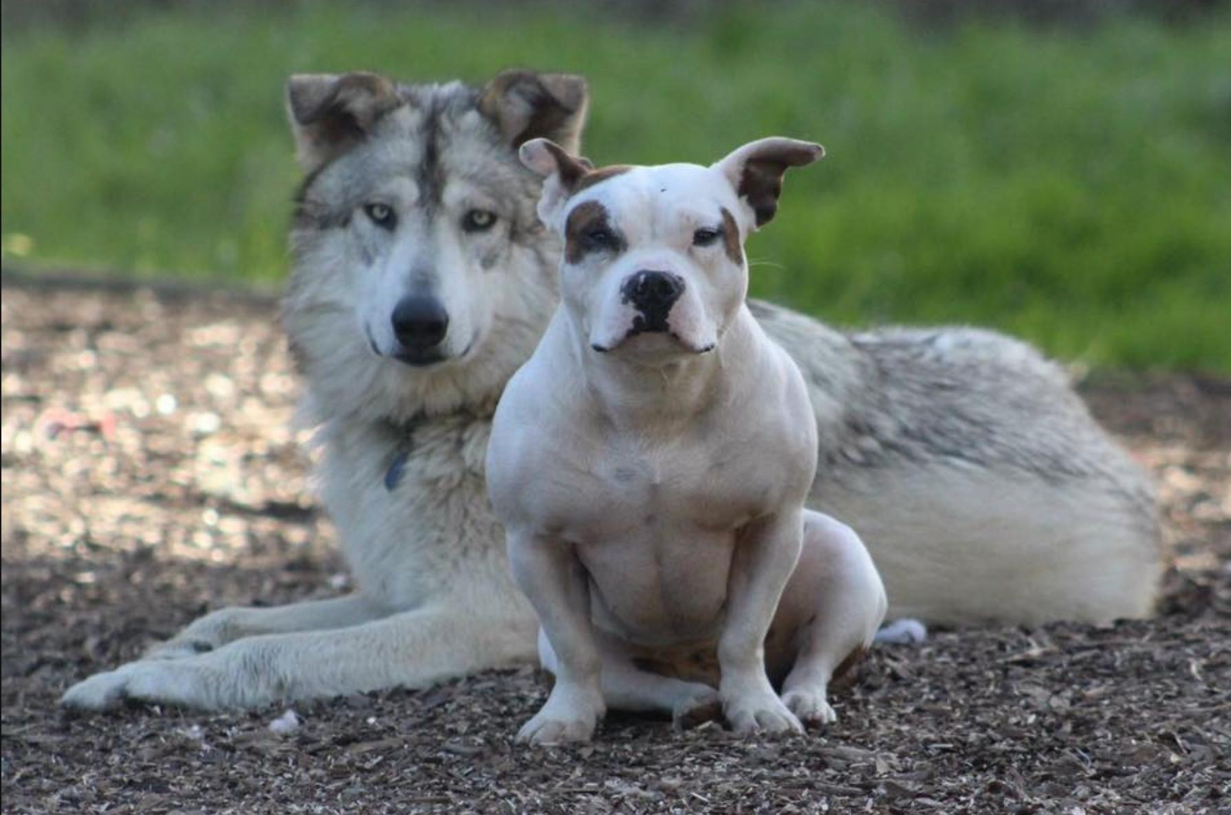 canine hypothyroidism dog