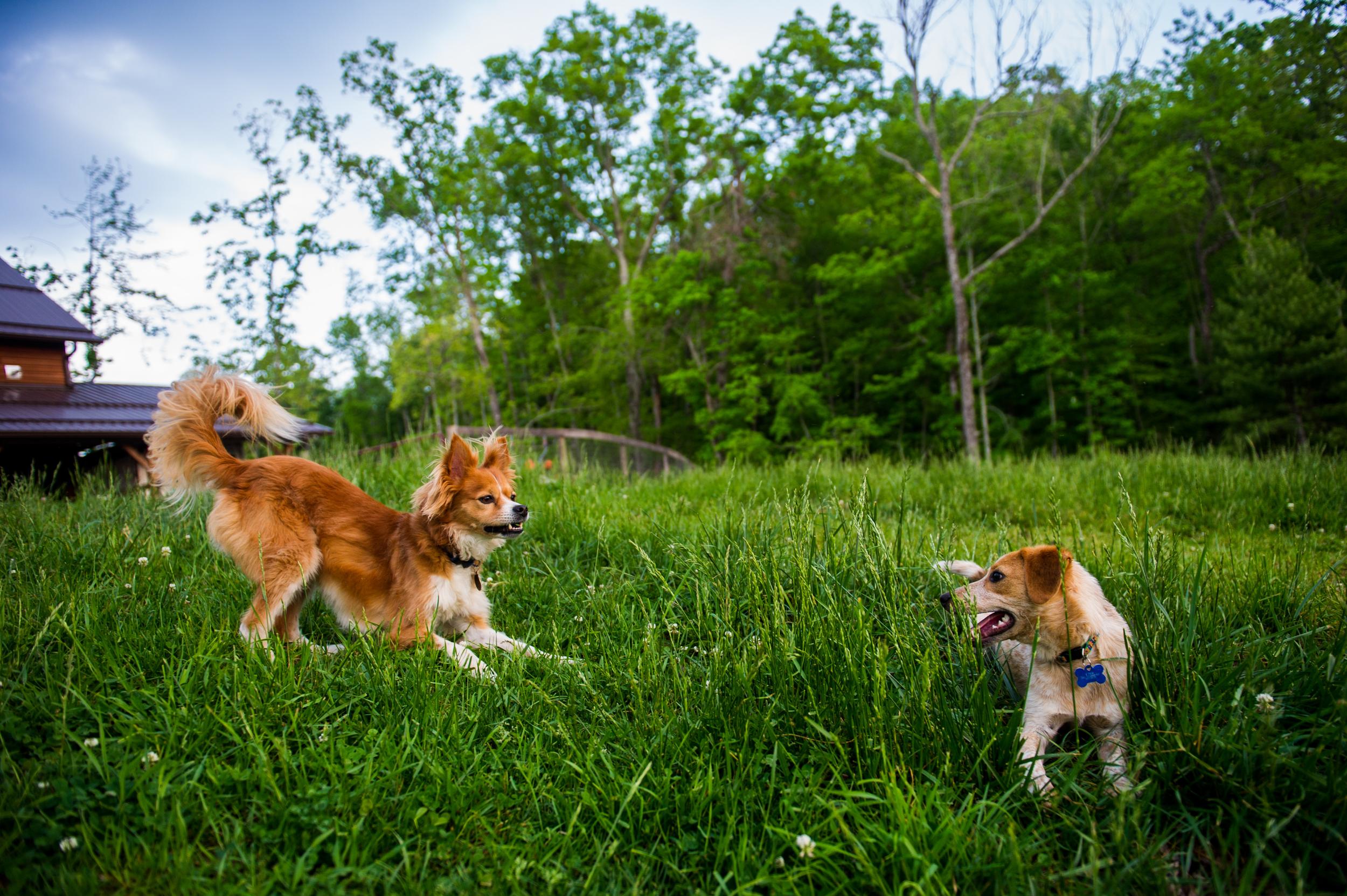 canine urinary incontinence dog