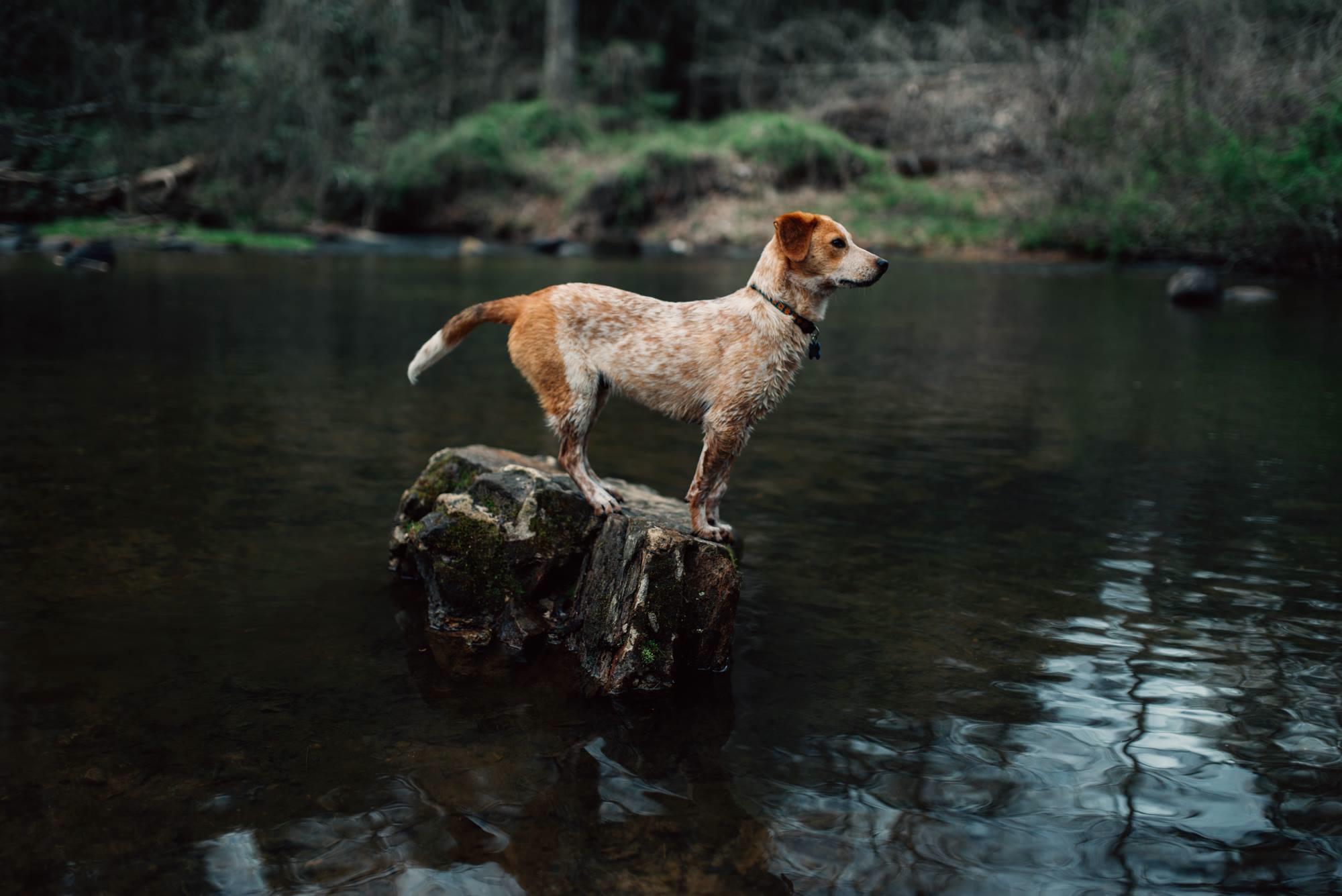 canine autoimmune disease dog