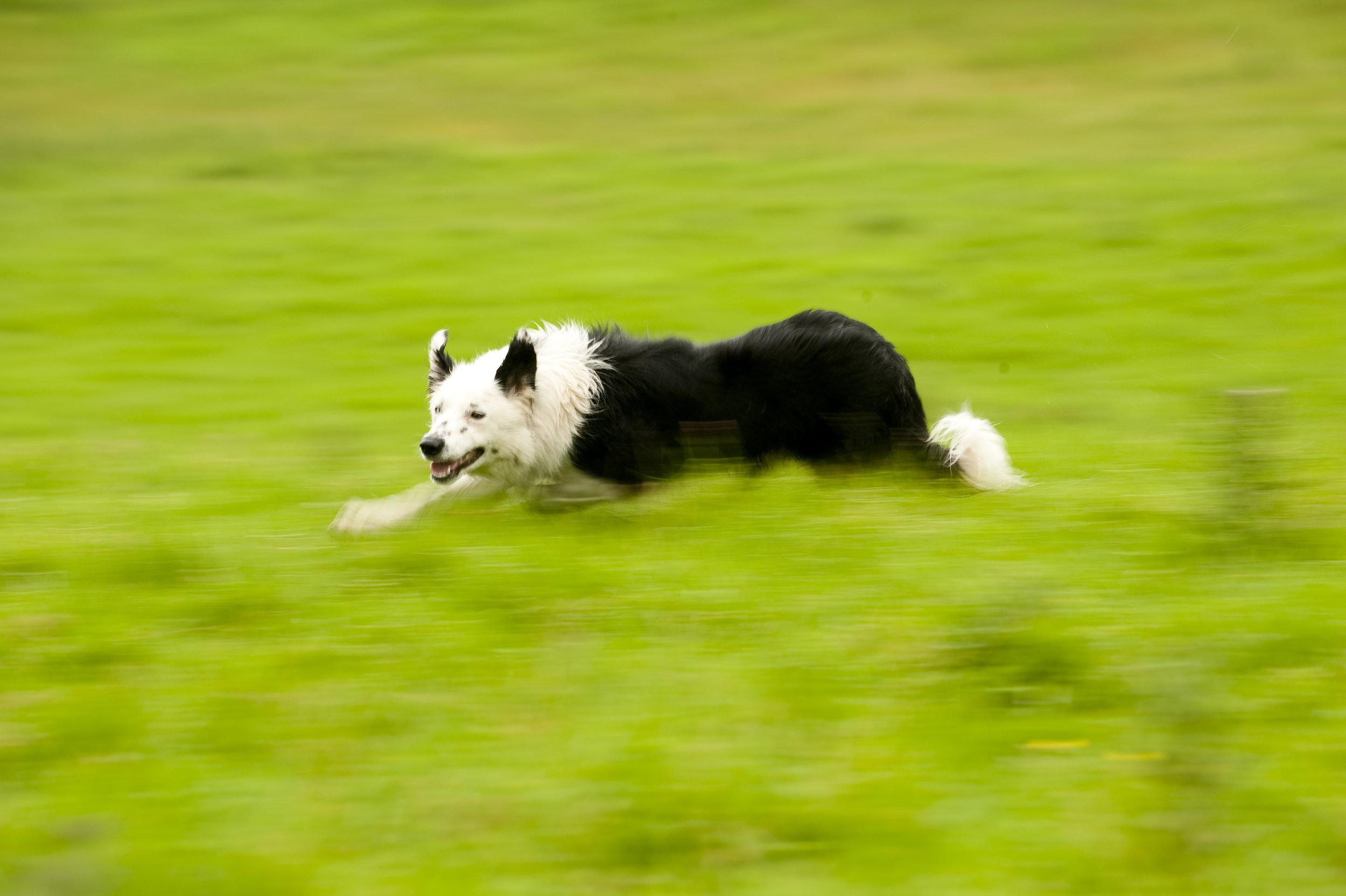 canine vasectomy dog