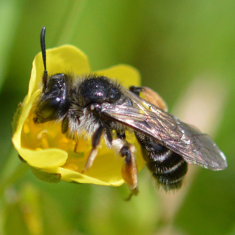 The Tormentil Mining Bee (Andrena Tarsata) is so-called because of its dependency on Tormentil flowers. Found across much of Wales but is scarce and considered a priority species for conservation.  Shared by Buglife Wales on Twitter.