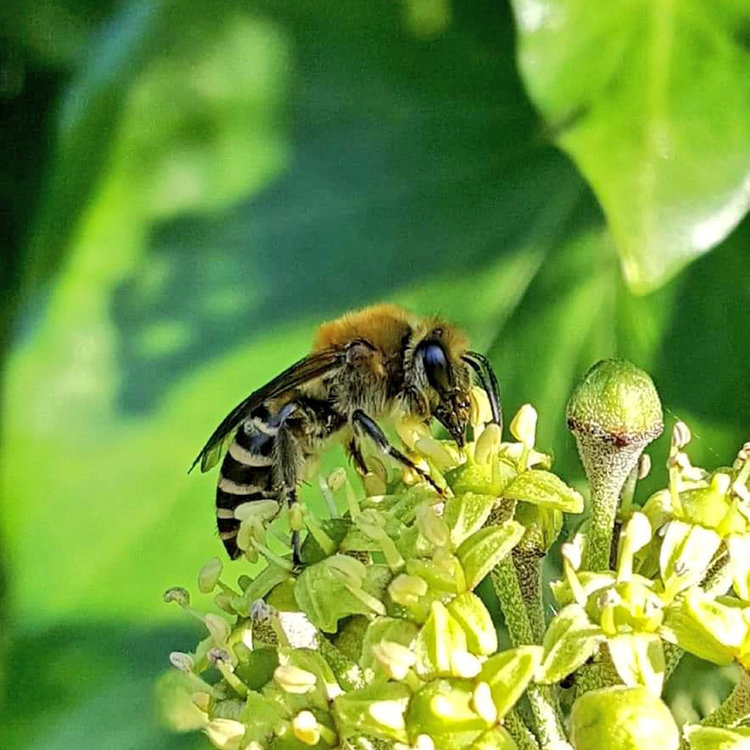 The latest solitary bees you're likely to spot in the year, you can probably guess where you're most likely to find the Ivy Bee!  Shared by Sophie Cooper on Twitter