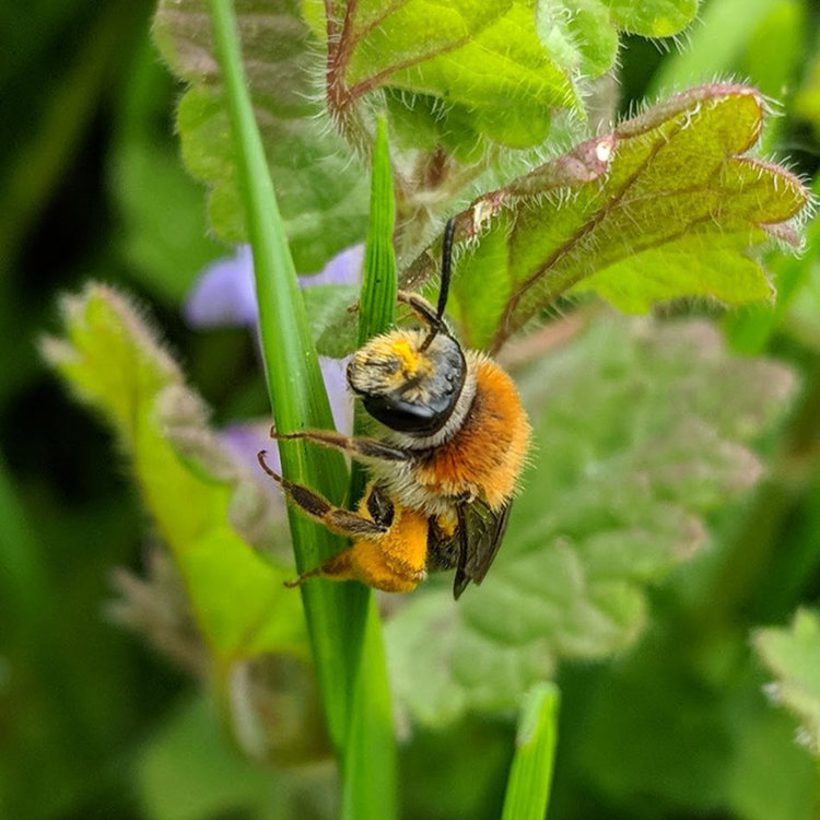 On the wing from March to July, the Orange Tailed Mining Bee is common in many habitats, even in urban areas.  Shared by Michael Hoit on Twitter