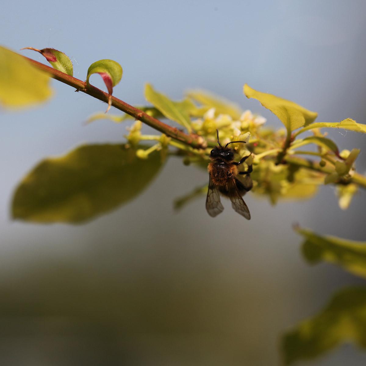 red-mason-bee-on-wildflowers.jpg