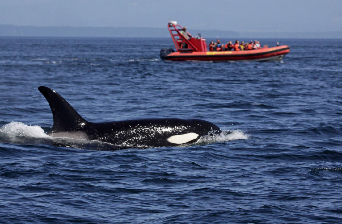 Whale watchers visited by an Orca during a tour