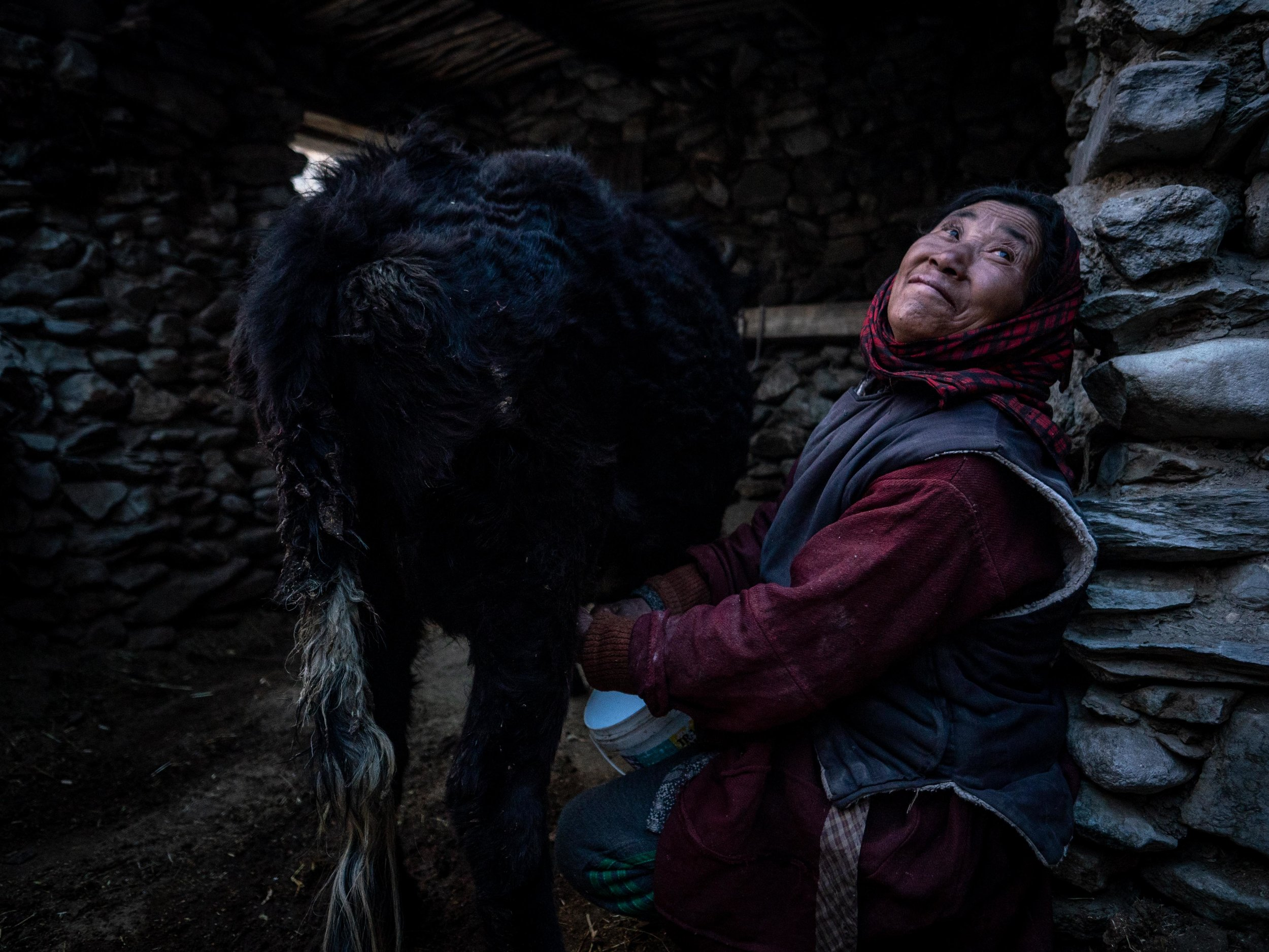 Padma Shingo milks her cow