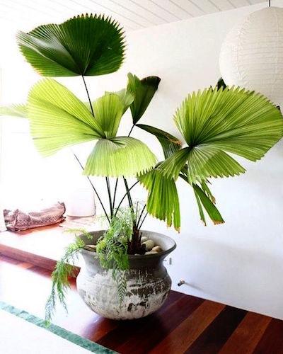 Indoor plant palm.jpg