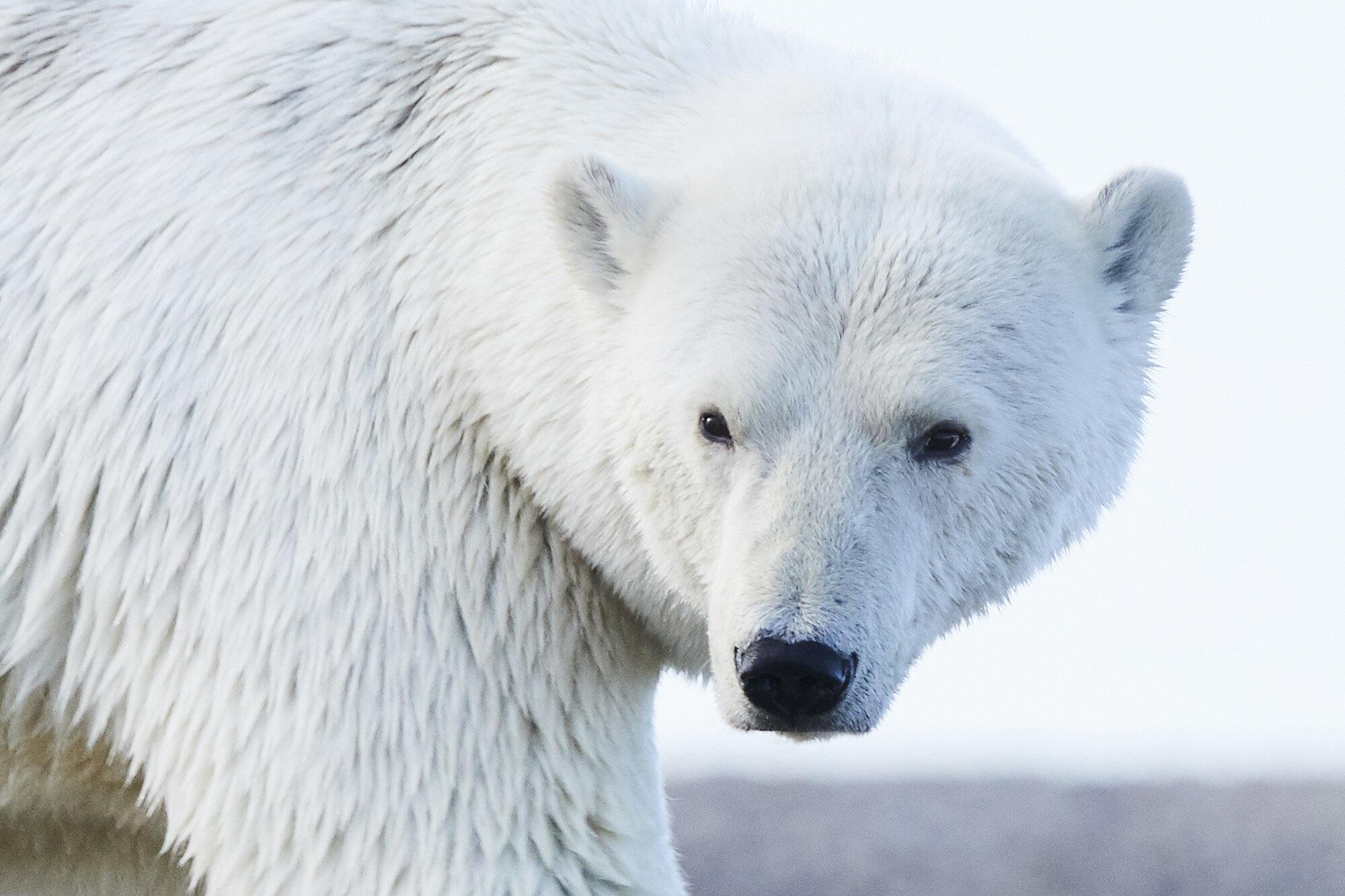 Alaska_Sept_2019_Polar Bears_416.jpg