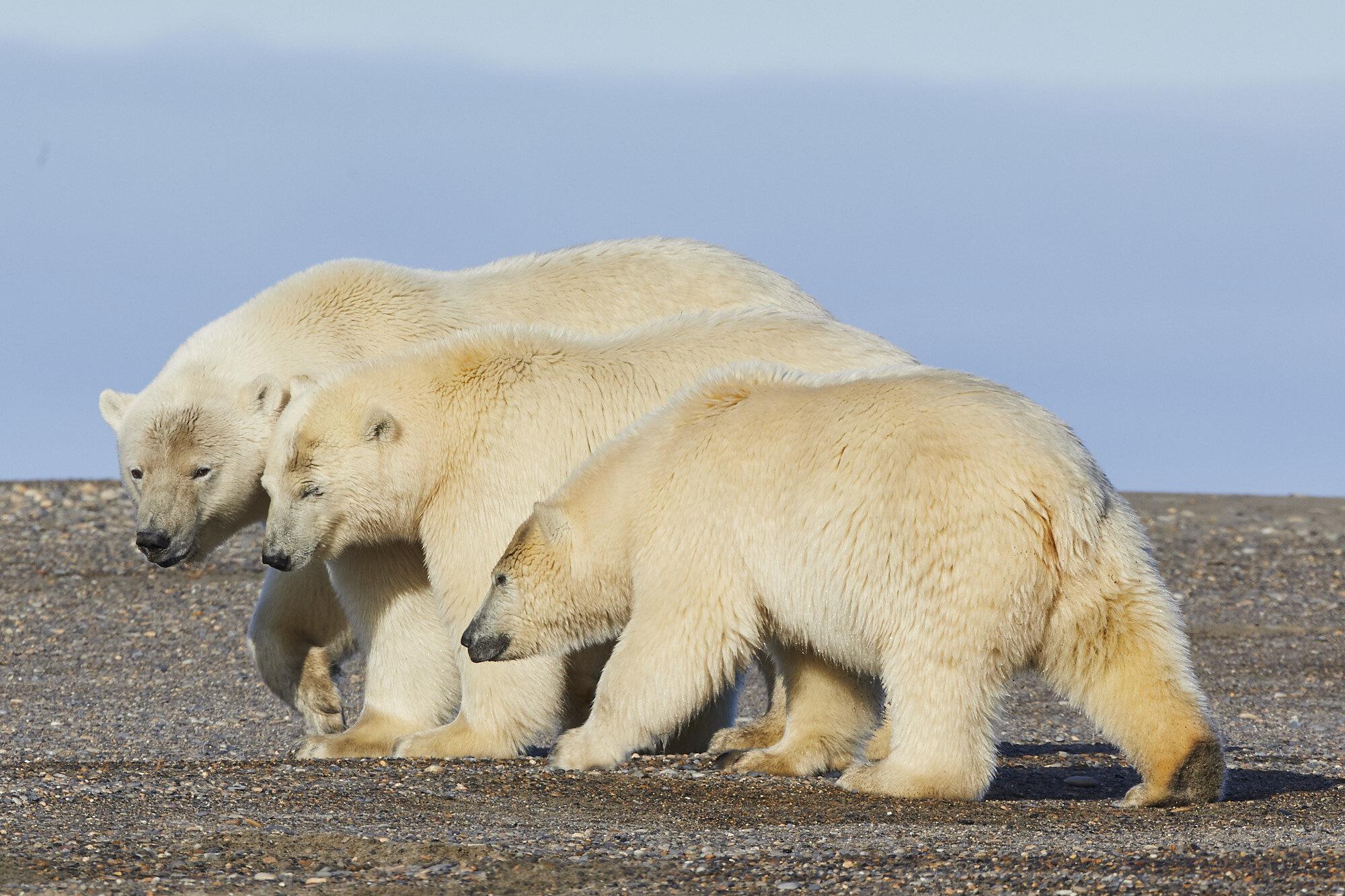 Alaska_Sept_2019_Polar Bears_118 1.jpg
