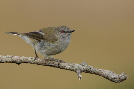 Riroriro (Grey Warbler)