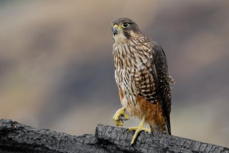 Karearea (New Zealand Falcon)