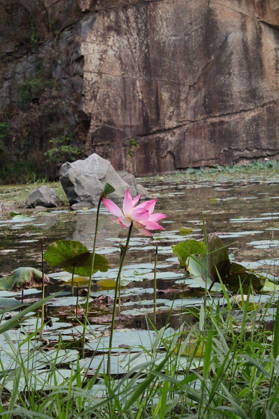 bl lotus large.jpg