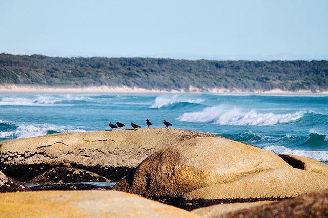 5 Sooty Oystercatchers sitting on a rock. 😏#birdlifetasmania #threehummockisland #birdwatching