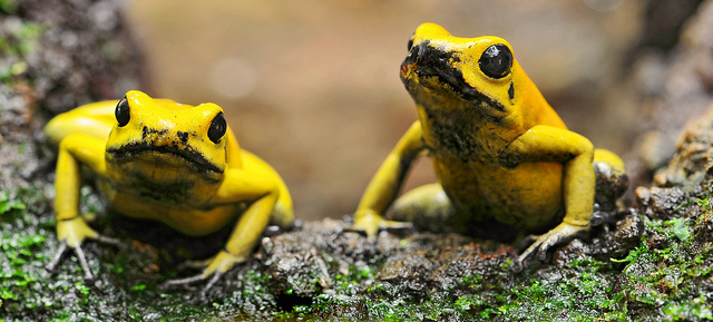 yellow frogs