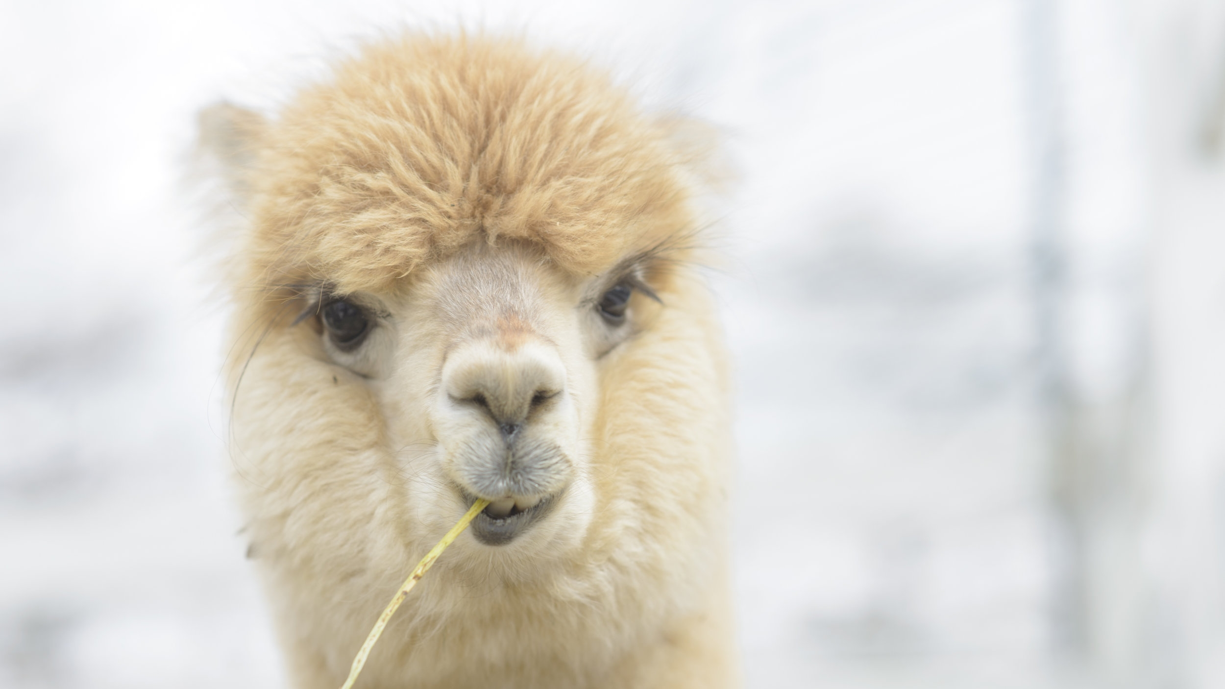 AdobeStock_79161718-alpaca.jpeg